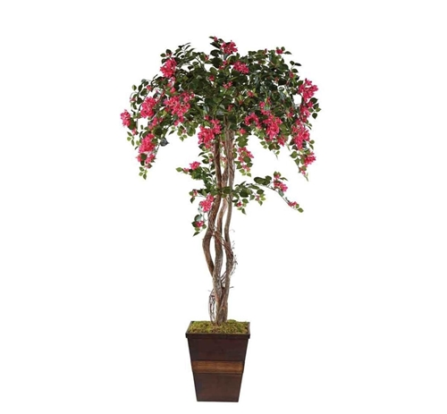 Picture of BOUGAINVILLEA TREE